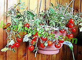 Profitez des tomates Balcony Miracle toute l'année!  Comment cultiver à la maison à partir de graines et de toutes les subtilités de la culture des tomates