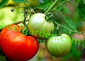 Una provata varietà di tipi di insalata - Pomodoro Staroselsky: descrizione, foto, consigli per la cura
