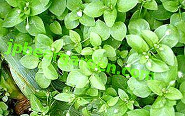 Обикновеният плевел не е толкова прост!  Лечебните свойства на билките въшки, рецепти на алтернативната медицина