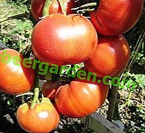 Один з кращих сортів алтайської селекції - томат «Бійськая троянда» - опис і рекомендації по догляду