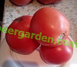 """Une autre merveilleuse variété de tomate de serre """"pomme de Sibérie"""": ses caractéristiques et sa description"""
