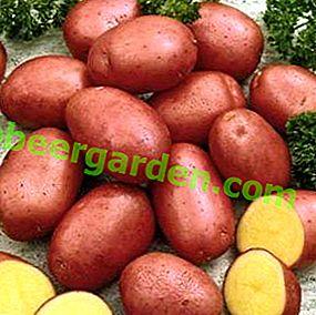 """Обещаващ холандец - сорт картофи """"Червена фантазия"""": характеристики и описание на сорта"""