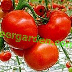 """Beschreibung von zwei Varianten hybrider Tomatensorten """"Marissa"""""""