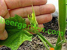 La formazione di un cetriolo in una serra in policarbonato: come pizzicare e pizzicare correttamente?  Schema e foto