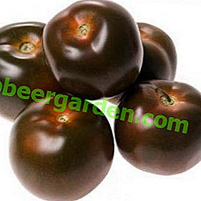 Nous cultivons des tomates saines «Viagra»: description et photo de la variété